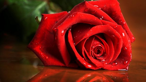 red roses wallpaper HD1