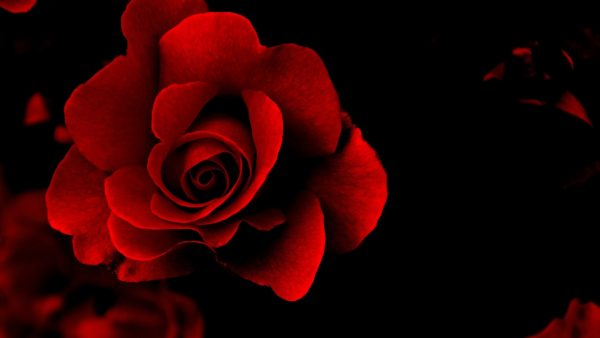 red roses wallpaper HD2