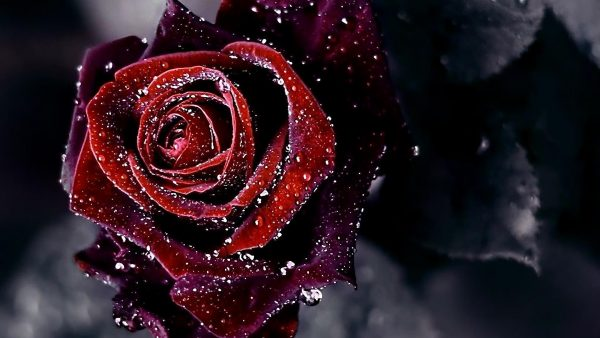 red roses wallpaper HD3