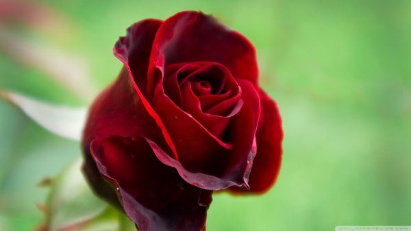 red-roses-wallpaper-HD6-600x338