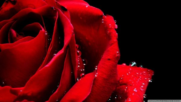 red roses wallpaper HD7
