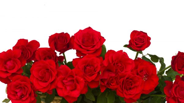 border of scarlet roses  isolated on white background