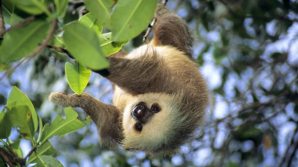 sloth-wallpaper-HD3-600x338