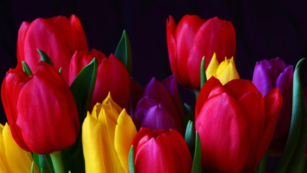 tulip-wallpaper-HD2-600x338