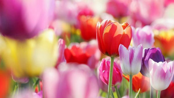tulip-wallpaper-HD6-600x338