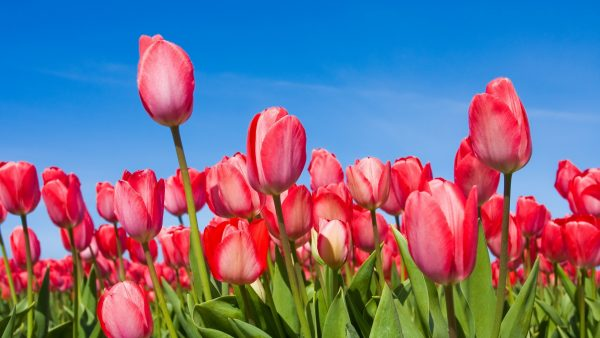tulip-wallpaper-HD7-600x338