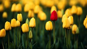 tulp behang HD