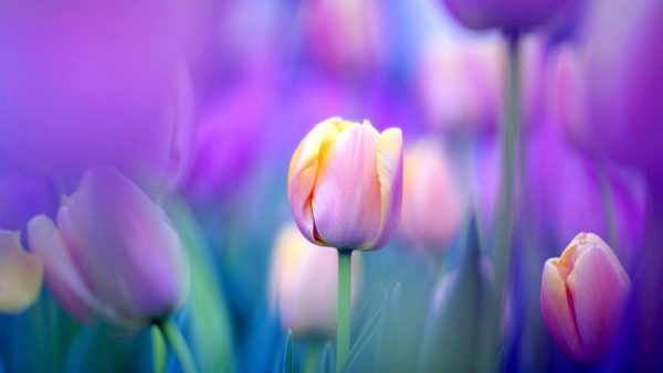 tulip wallpaper HD9