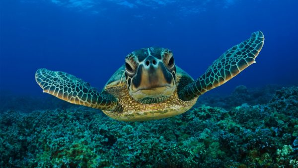 turtle-wallpaper-HD2-600x338