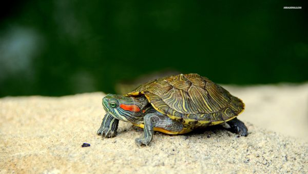 turtle wallpaper HD4