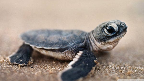 turtle-wallpaper-HD5-600x338