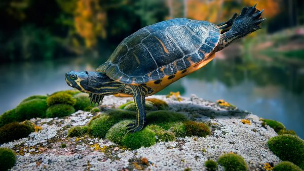 turtle wallpaper HD6