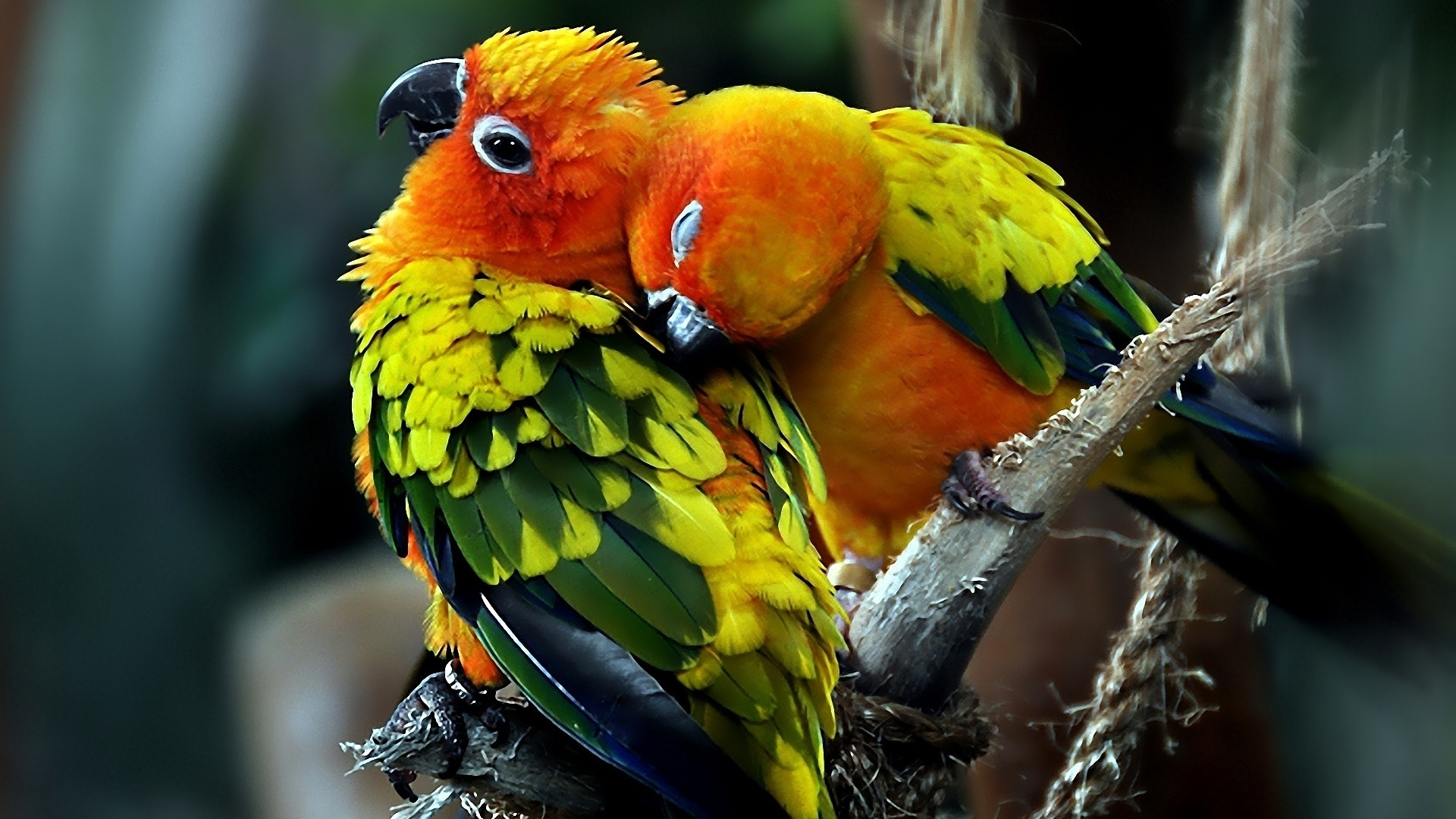 Love Birds Wallpaper Free Download For Pc: Aves Wallpaper HD