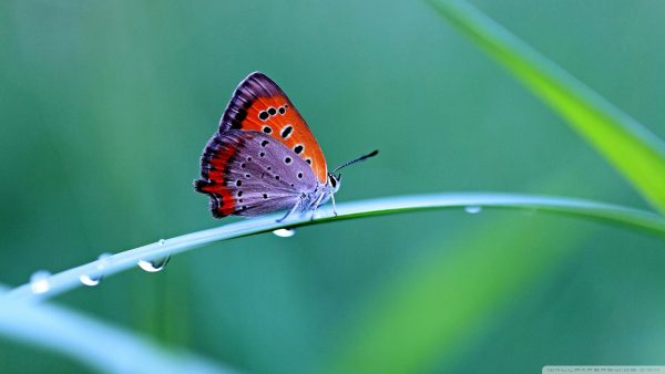 wallpaper-butterfly-HD1-600x338
