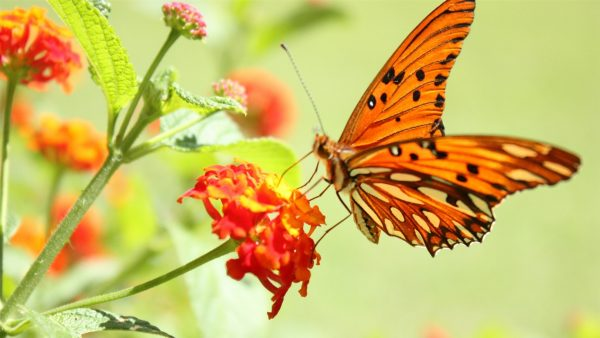 wallpaper-butterfly-HD2-600x338