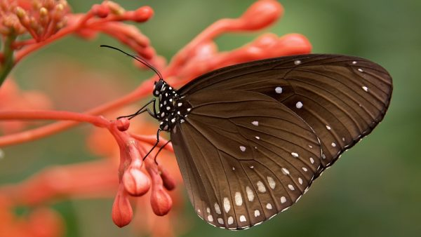 wallpaper-butterfly-HD9-600x338