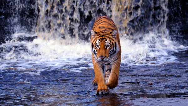 wallpaper tiger HD2