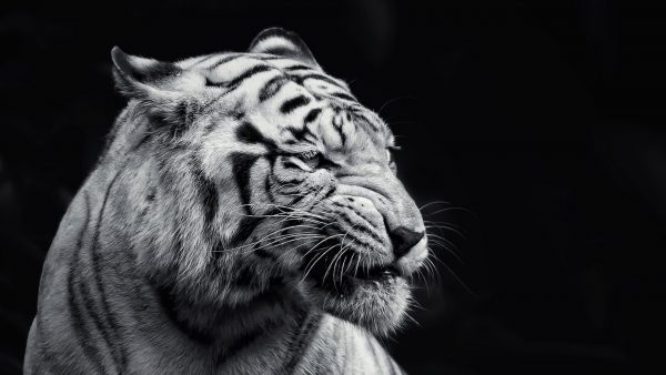 wallpaper tiger HD3