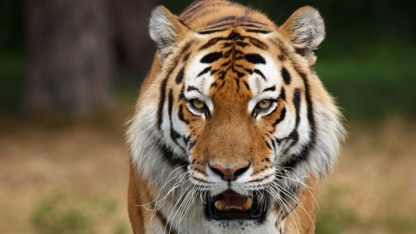 wallpaper-tiger-HD4-600x338