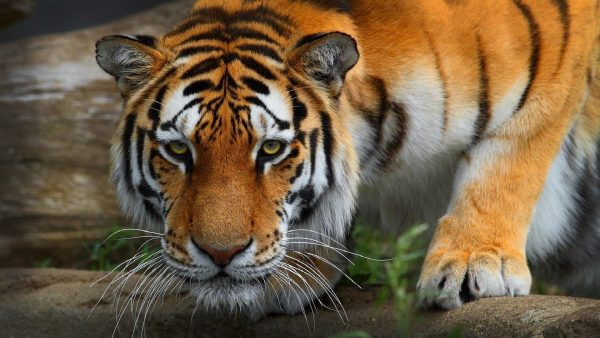 wallpaper-tiger-HD6-600x338