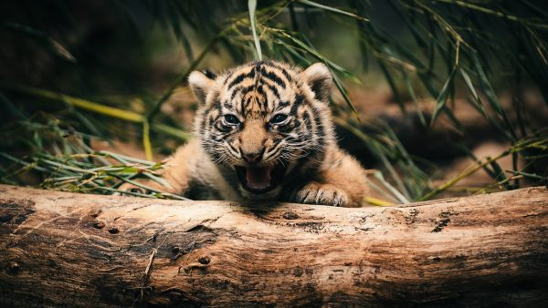 wallpaper-tiger-HD7-600x338