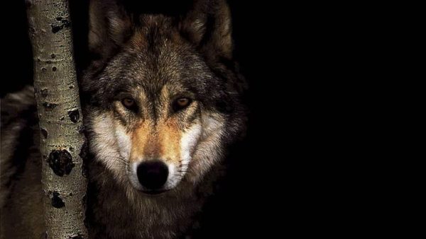 wallpaper-wolf-HD1-600x338