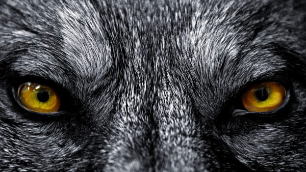wallpaper wolf HD9