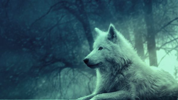 wolf Wallpaper HD HD1