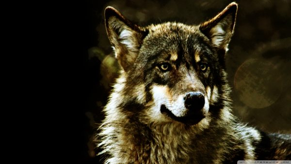 wolf-wallpaper-hd-HD4-600x338