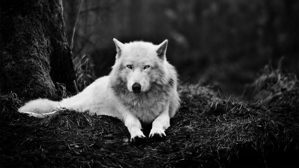 wolf-wallpaper-hd-HD5-600x338