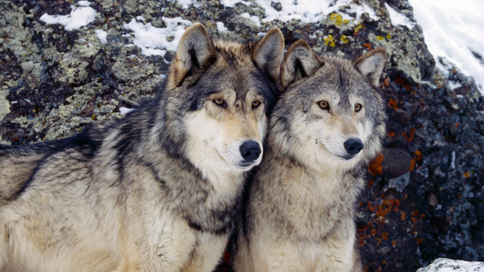 Nevada Wolf Pack Wallpaper: Loup Fond D'écran Hd HD