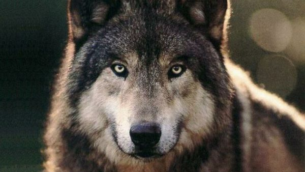 wolf-wallpaper-hd-HD9-600x338