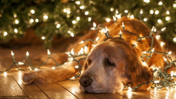 Hund in den Weihnachtslichtern Download von HD Wallpaper