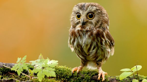 mignon hibou wallpaper1