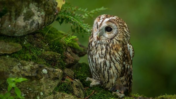 mignon hibou wallpaper10