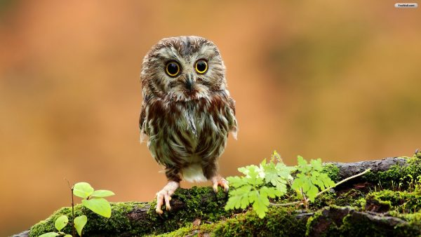 mignon hibou wallpaper3