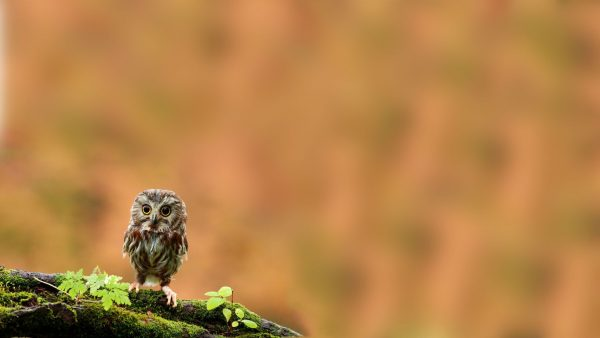 mignon hibou wallpaper8