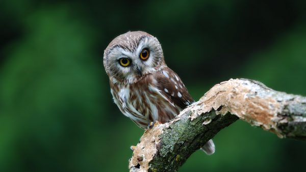 mignon hibou wallpaper9