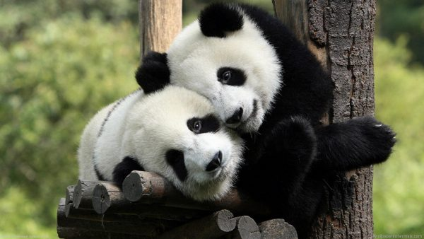 cute panda wallpaper HD10