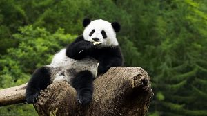 schattige panda wallpaper HD