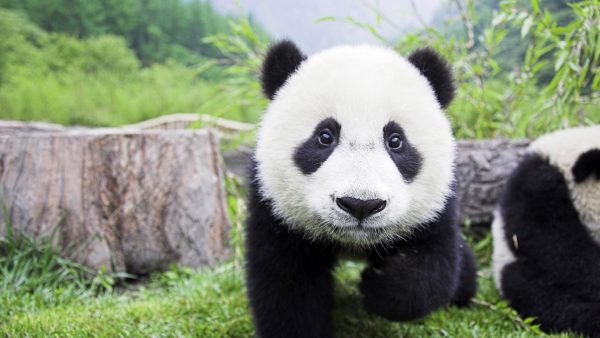 cute panda wallpaper HD9