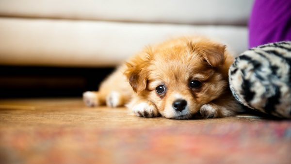 cute puppy wallpaper HD1
