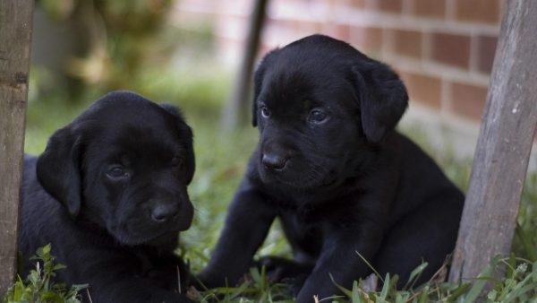 cute-puppy-wallpaper-HD10-600x338