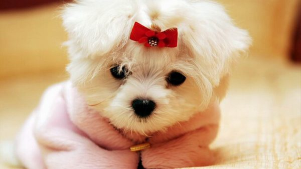 cute puppy wallpaper HD5