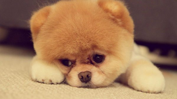 cute-puppy-wallpaper-HD7-600x338