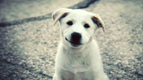 cute-puppy-wallpaper-HD8-600x338