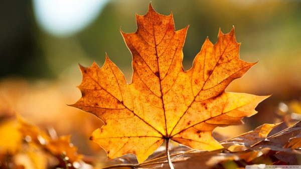 fall leaves wallpaper1