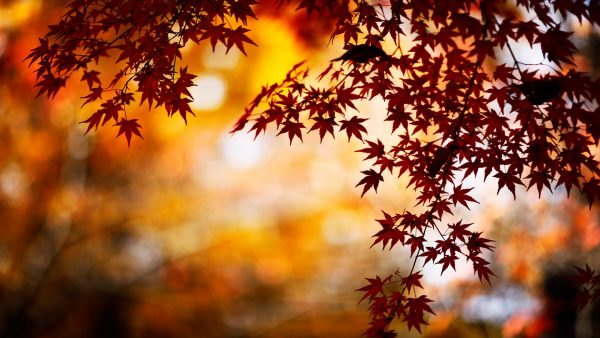 fall leaves wallpaper4