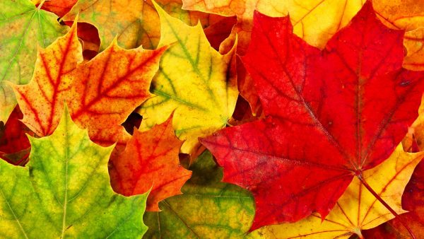 fall leaves wallpaper9