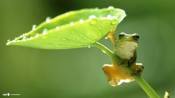 frog wallpaper HD10